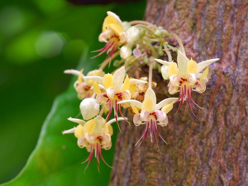 Cocoa tree flowers